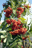 Many rowanberries hangs on green banches closeup Stock Image