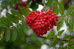 Many rowanberry on the tree red and nice Stock Photography