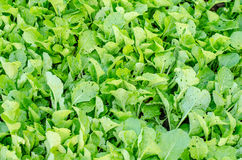 Many rowing lettuce in rows in the vegetable garden Royalty Free Stock Images