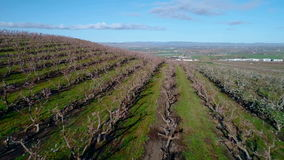 Many rows of flowering trees in spring on an Idaho orchard. Rows of trees on an orchard farm in the spring time stock video footage