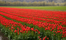 Many Rows of Red Tulips Stock Photos