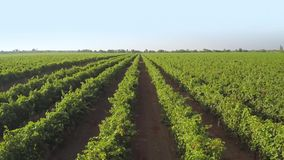Many rows of vineyard. Aerial view stock footage