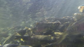 Many salmon fish like chum and coho is swimming under clear water and making crowds while they going to spawn at sunny. Many salmon fish with big fangs like chum stock video footage