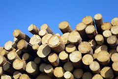 Many sawed pine logs in stack Stock Photo