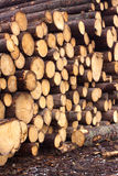 Many sawed pine logs stacked closeup Stock Photos