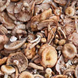 Many Scotch bonnet mushroom Stock Image