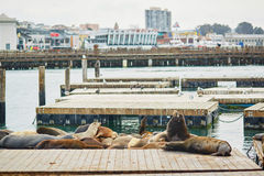Many sea lions on Pier 39 in San Francisco Stock Images