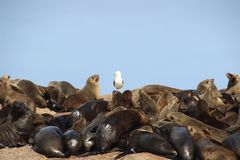Many sea lions on a rock Royalty Free Stock Photos