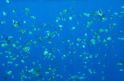 Many sea of small fish in the sunlight Royalty Free Stock Photos