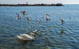 Many seabirds, gulls and a swan, eat near the shore royalty free stock photos