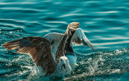 Many seagull birds fishing in the sea Stock Image