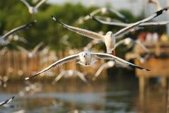 Many seagull flying Royalty Free Stock Photo