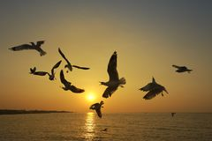 Many seagull flying at sunset stock image