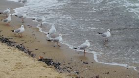 Seagulls closeup. Many seagulls on the beach in winter time stock video