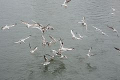 Many seagulls fighting for the food Royalty Free Stock Photos