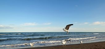 Seagulls fly on the seashore at sunset in search of food Royalty Free Stock Images
