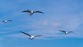 Many seagulls flying behind the ship Royalty Free Stock Image