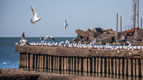 Many seagulls flying and sitting on the water and on the rocks o Royalty Free Stock Photos