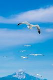 Many seagulls flying together after one leader Stock Images