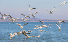 Many seagulls Larus michahellis are flying over the water in search of food Stock Images
