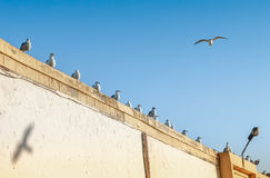 Many seagulls perched on a wall Royalty Free Stock Photography