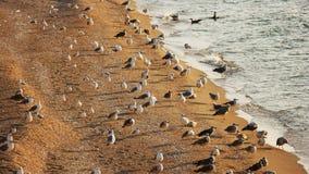 Many seagulls resting on sandy seashore Royalty Free Stock Photos