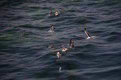 Many seagulls at sea Stock Photo