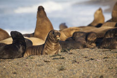 Many seal at the beach Stock Photography