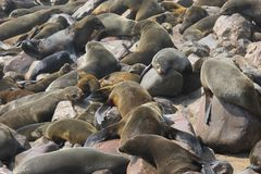 Many seals together, ocean beach, namibia Stock Images
