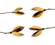 Many seed pod Royalty Free Stock Photo