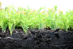 Many Seedlings And Ground In The Garden. Royalty Free Stock Images