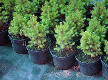 Many seedlings of coniferous trees. Royalty Free Stock Images