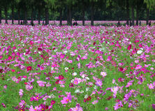 Many Shades of Pink Blooming Cosmos in the Field, Thailand. Background royalty free stock photography