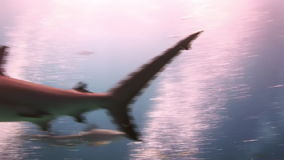 Many sharks beneath the surface of sun stock video footage