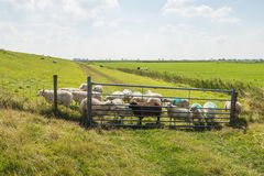 Many sheep behind the gate and the fence Royalty Free Stock Images