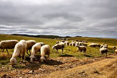 Many sheep are being grazed in Bashang grassland and lots of clouds in the sky Stock Images