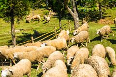 Many sheep are feeding the grass. Beautiful nature. And sheep Royalty Free Stock Images