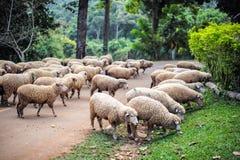 Many sheep are feeding grass. Many white sheep are feeding grass Royalty Free Stock Photo
