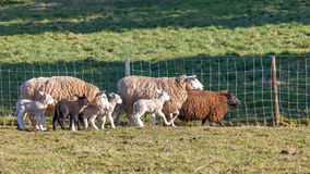 Many Sheep Royalty Free Stock Photos