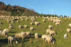Many sheep in the flock of sheep on a meadow Royalty Free Stock Images
