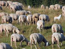 Many sheep in the flock of sheep on a mountain meadow Stock Photos