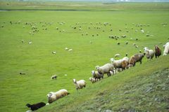 FIELD AT HULUNBEIR CHINA GREEN SHEEP. MANY SHEEP ON THE GRASSLAND FIELD AT HULUNBEIR CHINA,GREEN AND FRESH royalty free stock photo