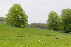 Many Sheep in a Green Meadow in Ireland Royalty Free Stock Photos