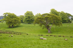 Many Sheep in a Green Meadow in Ireland Stock Photo