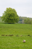 Many Sheep in a Green Meadow in Ireland Stock Photography