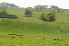 Many Sheep in a Green Meadow in Ireland Stock Images