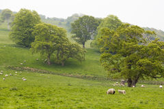 Many Sheep in a Green Meadow in Ireland Stock Image