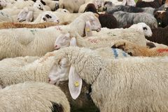Many sheep after the herding down in Tirol, Austria. Royalty Free Stock Photo