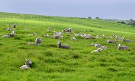 Many sheep in a meadow Royalty Free Stock Photography