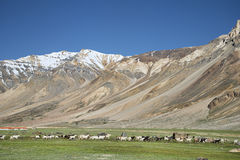 Many sheep in near snowed mountains Stock Photography